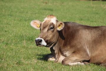 Eine Braunvieh Kuh