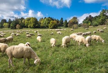 Schafe fressen auf einer Wiese
