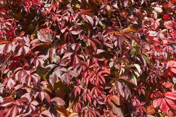 Virginia creeper in autumn.