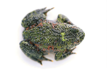 Firebelly Toad's Back