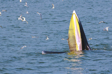 Bryde's whale 2