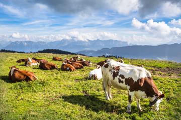 Vaches au Semnoz