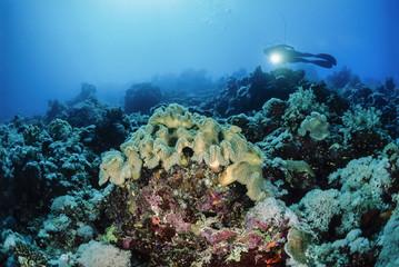 SUDAN, Red Sea, U.W. photo, soft corals and a diver