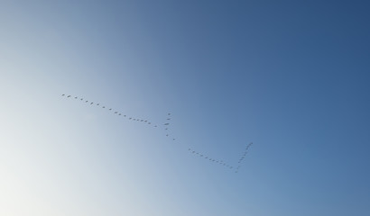 Geese flying in a clear sky at dawn