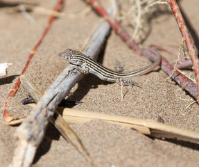 Lizard in desert of Central Asia, Kazakhstan