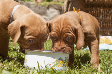 the Hungarian hound puppies, lunch