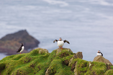 Three Puffins Fratercula arctica on a cliff.