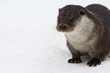 Постер, плакат: European river otter in the snow