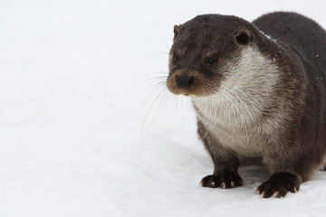 European river otter, in the snow