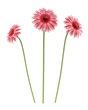 pink gerbera daisies flowers isolated on white background