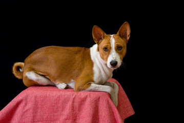 Studio portrait of Basenji dog