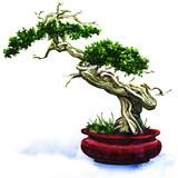 Bonsai pine tree isolated