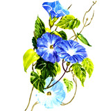 Sky blue morning glory isolated poster