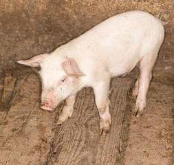 piglet on a farm
