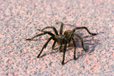 Venomous spider poster