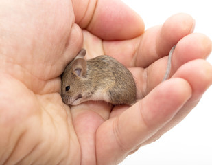 Mouse in hand on white background
