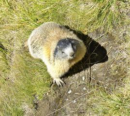 Alpine marmot, Hohe Tauern National Park, Austrian Alps, Austria