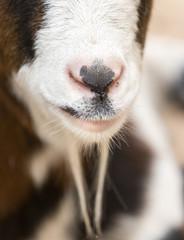 nose sheep