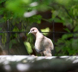 pigeon on nature