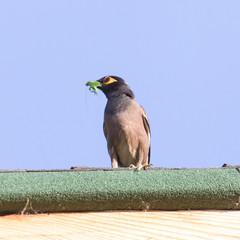 bird eats a grasshopper
