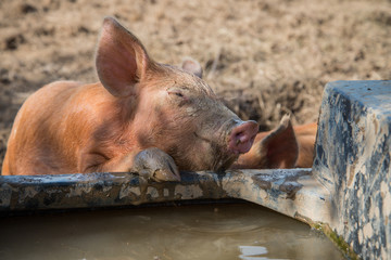 Baby pig drinking water