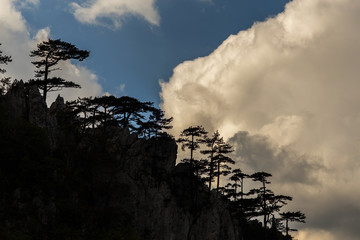 Mountain scenery with black pine trees Pinus nigra
