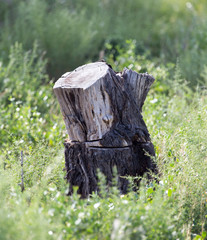 the stump of the tree in nature