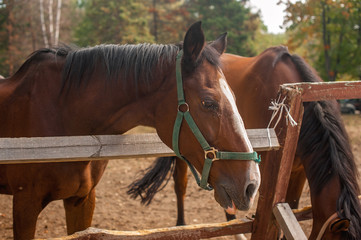 Two brown horses nuzzling each other across a rustic wooden fenc