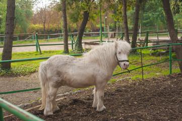 White  miniature horse. Outdoors