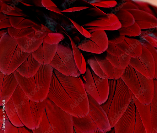 Feathers; Red - 71069058