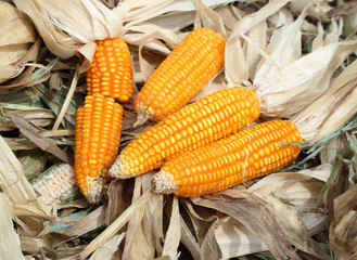 fresh raw corn after harvest