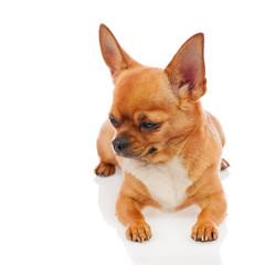 Chihuahua dog isolated on white background.