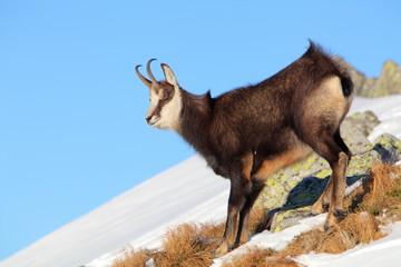 Chamois - rupicapra, Tatras