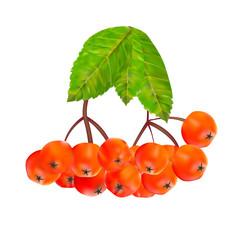 Rowan Berries and Leaves Vector Illustration