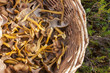 Basket full of yellowfoot - 71075062