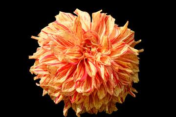 Chrysanthemum on black