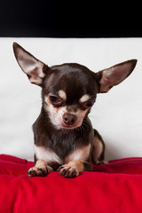 chocolate chihuahua portrait