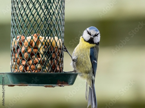 Fotobehang Vogel Small blue tit sitting on a bird feeder looking out