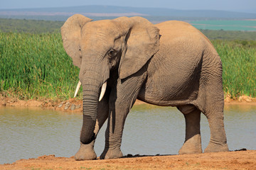 African elephant at a waterhole, Addo National Park