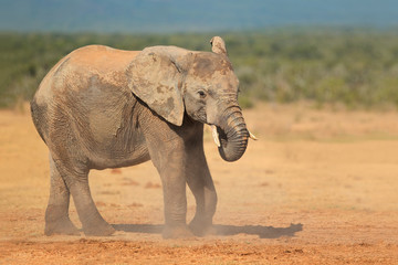 African elephant in dust, Addo National Park