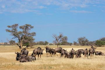 Blue wildebeest herd, Kalahari desert