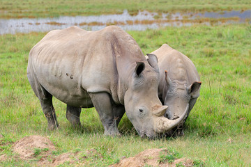 White rhinoceros, Lake Nakuru National Park
