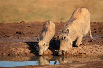 Warthogs drinking water