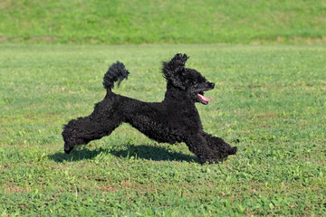 Pet poodle dog in action, running at meadow