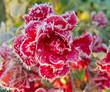 Obrazy na płótnie, fototapety, zdjęcia, fotoobrazy drukowane : Red roses covered with hoarfrost