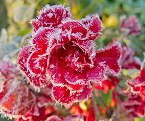 Red roses covered with hoarfrost
