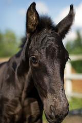 Portrait of nice foal - friesian horse