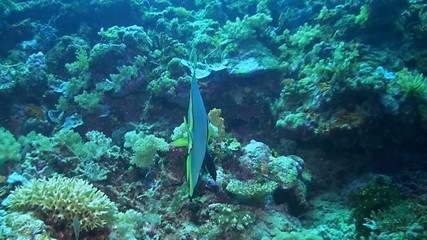 Boer's batfish - Platax