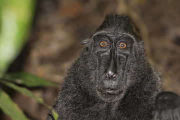 crested black macaque while looking at you in the forest