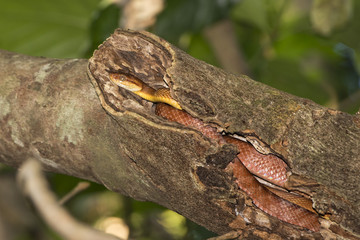 Indonesian Snake on a Tree